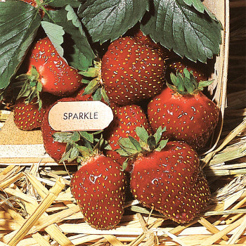 Sparkle Strawberry