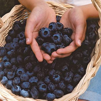 Chandler Blueberry Plant