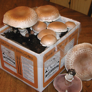 Heirloom Portabella Mushroom Kit