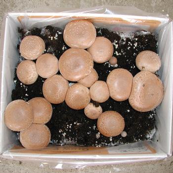 Cremini Baby Bella Mushroom Kit