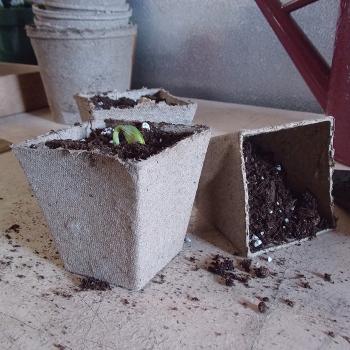 "Jiffy Peat Pots - 3"" Square"