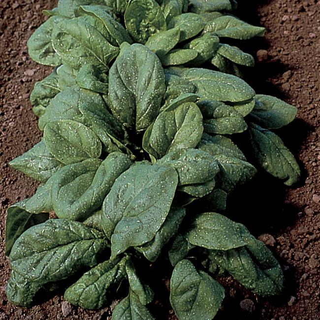Olympia Hybrid Spinach