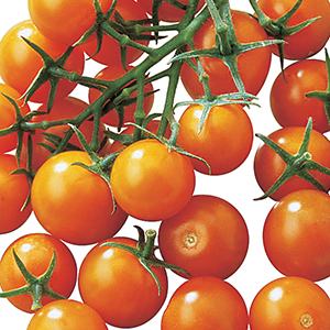 Cherry and Grape Tomato Plants