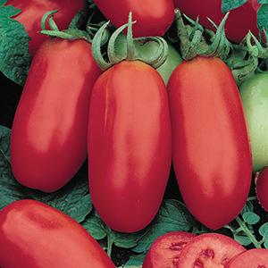 Paste Tomato Plants