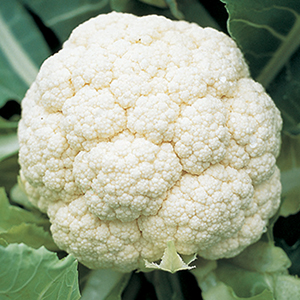 Cauliflower Plants