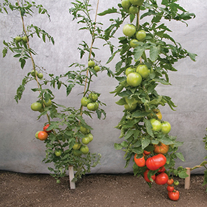 Grafted Tomatoes & Vegetables