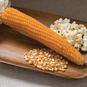 Corn, Popcorn