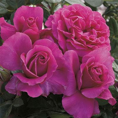 Pretty Lady Rose™