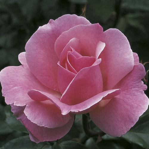 queen elizabeth grandiflora rose. Black Bedroom Furniture Sets. Home Design Ideas