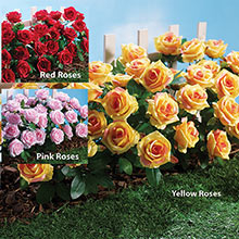 All-Weather Forever Blooms - Pink Roses
