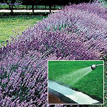 Lavender Instagarden