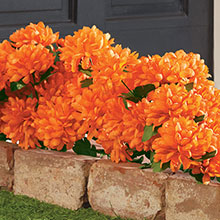 All-Weather Forever Blooms - Orange Mums
