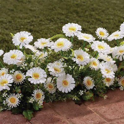 All-Weather Forever Blooms - White Daisy