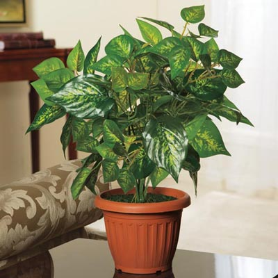 Forever Green Philodendron