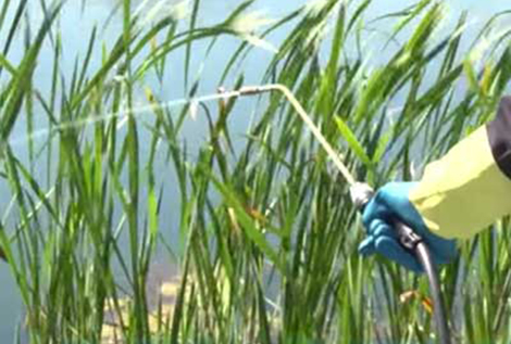 Cattail and Emergent Weed Control