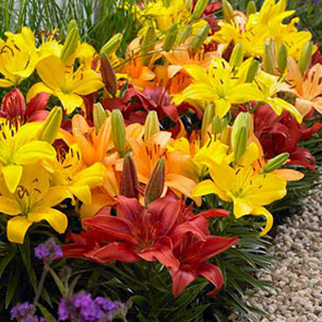 Dwarf Asiatic Lily Mix