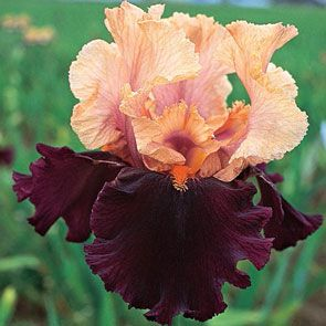 Ocelot Tall Bearded Iris