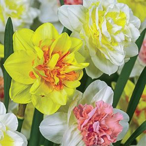 Double Delight™ Daffodil Mixture