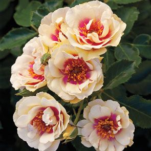 Bull's Eye™ Shrub Rose