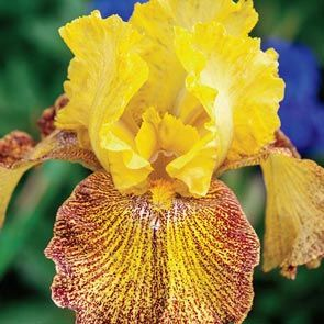 Jitterbug Bearded Iris