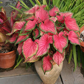 Strap Leaf Caladium Florida Red Ruffles