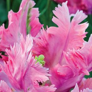 Parrot Pink Vision Tulip