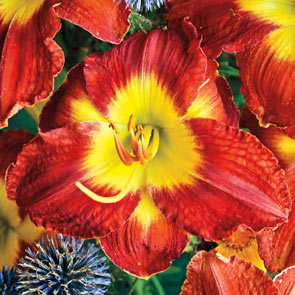 Passion For Red Reblooming Daylily