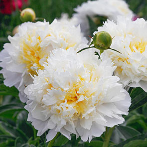 Cheddar Cheese Peony
