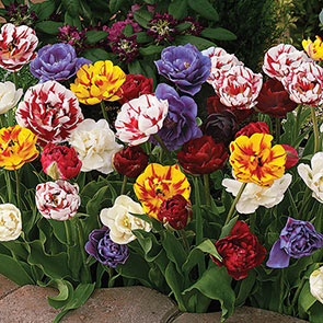 Peony-Flowering Tulip Mixture