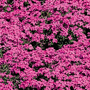 Carpet Phlox Collection