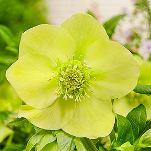 Searchlight Wow!® Hellebores