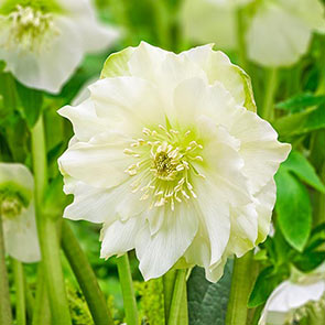 Great White Double Wow!® King-Size Hellebores