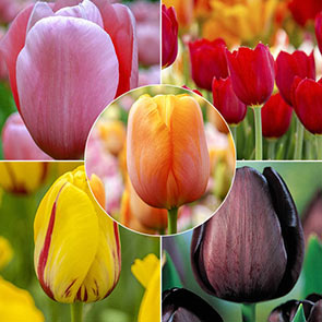 Late Spring Tulip Collection
