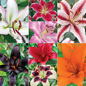 Super Lily Collection