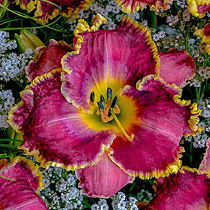 Raspberry Eclipse Reblooming Daylily