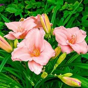 On And On Reblooming Daylily