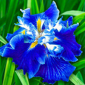 Frosted Intrigue Japanese Iris
