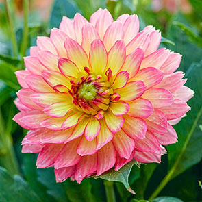 Full Spectrum Dahlia Collection