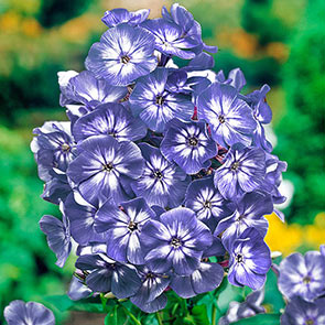 Tall Phlox Collection