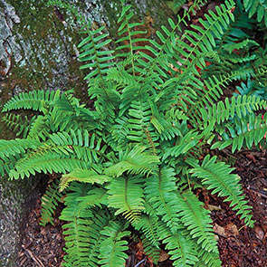 Hardy Fern Collection