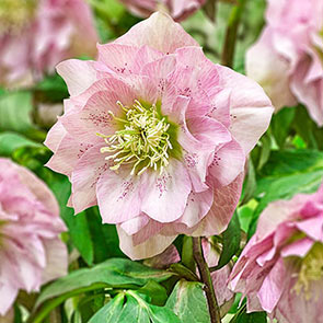 Double-Flowered Wow!® Hellebore Collection
