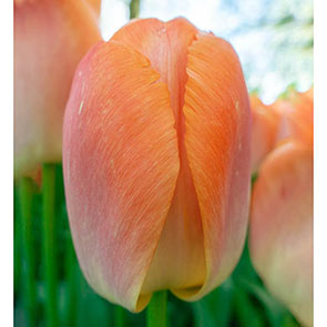 Wow!® Pride Perennial Tulip Collection