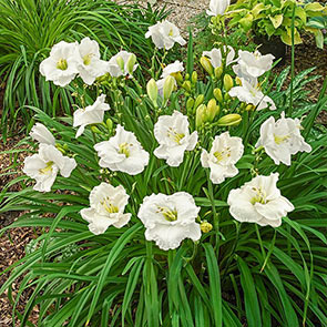 Cool It Reblooming Daylily