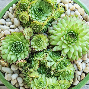 Sunset Hens & Chicks
