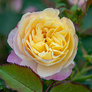 Life of the Party™ Floribunda Rose