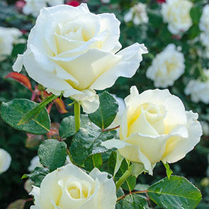 "White Licorice 24"" Patio Tree Rose"