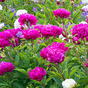 Bunker Hill Peony
