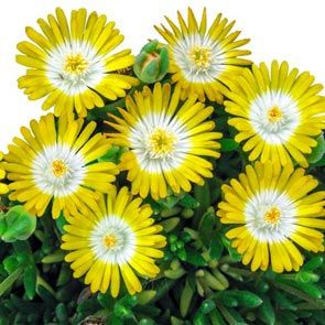 Hardy Ice Plant Collection