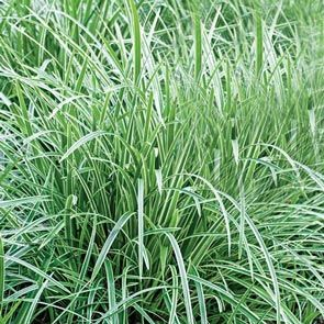 Variegated Sedge Collection