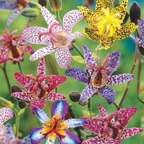 Deluxe Toad Lily Mixture  Super Sak®